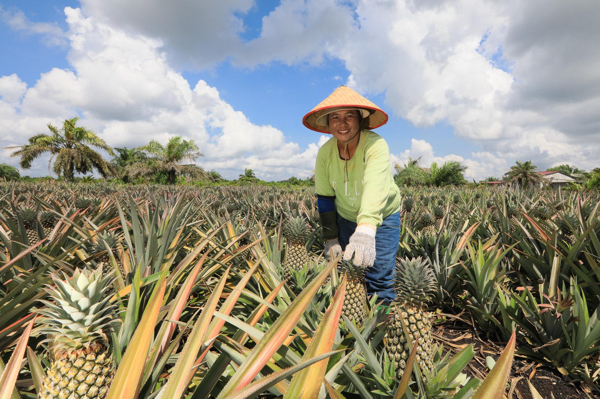 Aco one of the pineapple farmer