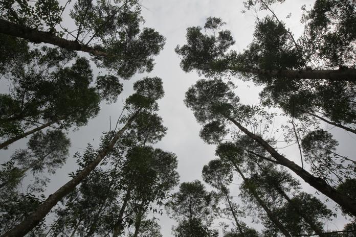 Why We Use The Acacia Tree